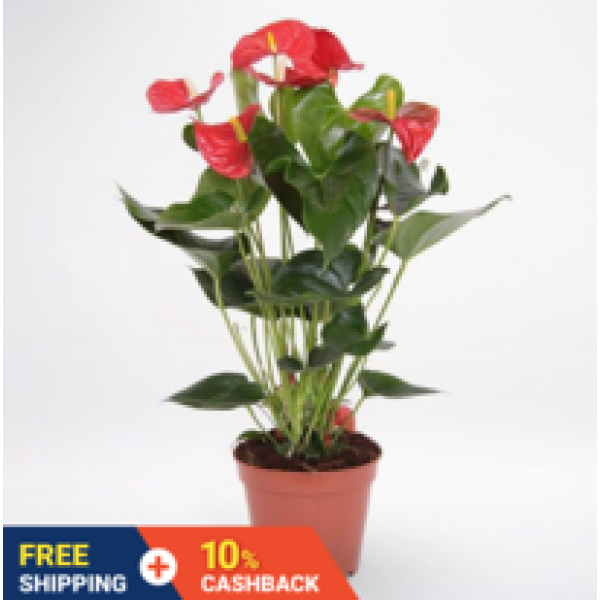Anthurium Red, Flamingo Flower (0.35m) : air purifying / filtering / cleaning / detoxification (NASA research) indoor